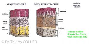histologie muqueuse orale
