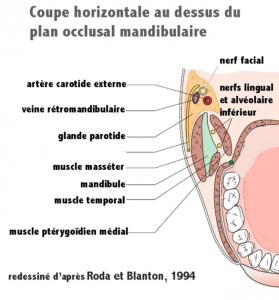 Anatomie coupe horizontale spix