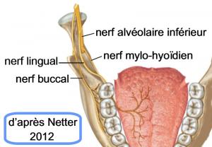 Anatomie de la bouche : nerf lingual buccal alveolaire