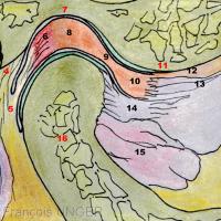 1- Méat acoustique externe 2- Os tympanal 3- Fissure tympano-squameuse 4- Fibres supérieures de la zone bilaminaire 5- Fibres inférieures de la zone bilaminaire 6- Plexus veineux rétro-discal 7- Fosse mandibulaire 8- Bourrelet postérieur du disque 9- Zone intermédiaire du disque 10- Bourrelet antérieur du disque 11- Eminence temporale 12- Lame tendineuse pré-discale 13- Fibres discales du chef supérieur du muscle ptérygoïdien latéral 14- Fibres osseuses du chef supérieur du muscle ptérygoïdien latéral 15- Chef inférieur du muscle ptérygoïden latéral 16- Col du condyle mandibulaire 17- Glande parotide