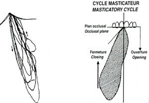 Fig 5- L'AFMP représente l'abaissement de la mandibule (d'un coté) dans le plan frontal et guidé par les surfaces dentaires à partir de l'OIM qui est l'aboutissement des cycles masticatoires.