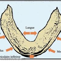 1. Dynamique modelante des muscles péri-prothétiques mandibulaires.