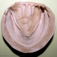 10b. Surface d'appui mandibulaire enregistré par l'empreinte.