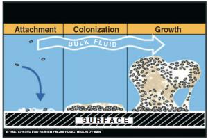 D'après le site http://www.biofilm.montana: le biofilm mature prend une architecture particulière, très évoluée par rapport aux bactéries planctoniques s'attachant à la surface